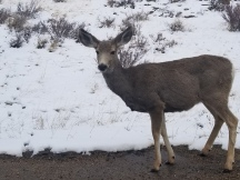 Rocky Mountain National Park, Estes Park, The Stanley Hotel, Deer, Wildlife